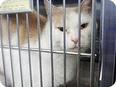 Westampton, NJ - Domestic Shorthair. Meet C-59245 Jacke, a cat for adoption. http://www.adoptapet.com/pet/11363735-westampton-new-jersey-cat