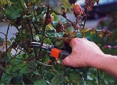 Rose Magazine, pruning roses