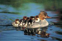 Mother Merganser duck and babies