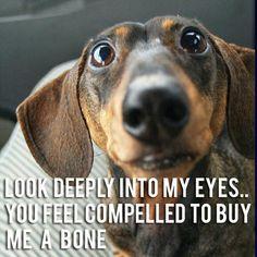 funny dogs, dachshund, bone, funny dog pictures, dog humor, dog funnies, eye