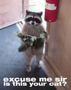 funny raccoon holding cat