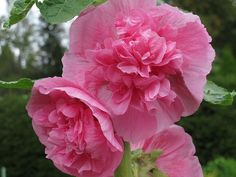 Alcea rosea, salkoruusu, by EilaKaarina, via Flickr