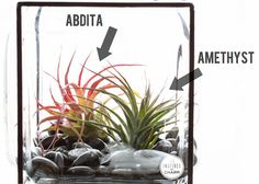 AIR PLANTS  (a.k.a. Tillandsia or Tilly) are amazing little plants that don't require soil or traditional watering to survive.