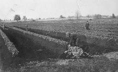 Celery fields in Vicksburg, Michigan, 1912. From Vicksburg Historical Society archives. www.vicksburghistory.org