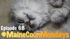 #MaineCoonMondays -