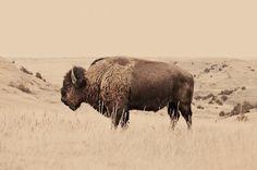 buffalo, animals, north dakota, bison, collage art, art prints, troy moth, fine art photography, mixed media art