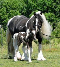 Gypsy Vanner Horse - The foal named Picasso, 1 day old. - Pixdaus