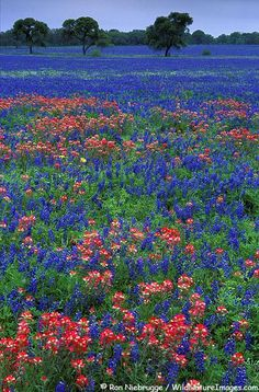 Field of Bluebonnets and Indian Paintbrushes. No place like Texas!