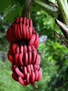 #InspireCaribou lights, fruit, color, food, bananas, pink, central america, cream, red banana