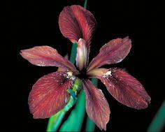 Iris, a rainbow of color.