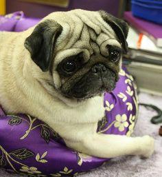 Very cute puggy