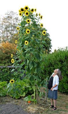 the last giant sunflowers of summer