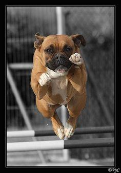 Boxer flying. Looks like my moo moo!!