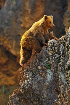 Brown Bear Cub learning to climb in between his Mother's legs