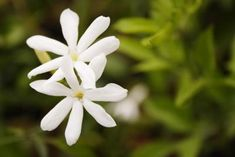 Jasmine (Jasminium spp.) is a flowering evergreen or deciduous vine or shrub that grows in U.S. Department of Agriculture plant hardiness zones 6 through 11, depending on the species. Jasmine shrubs ...