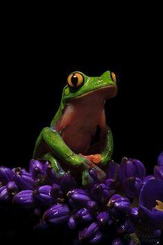 Yellow-eyed leaf frog, aka blue-sided tree frog, aka coffee frog (Agalychnis annae)