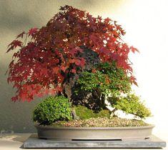 Japanese Maple (Saikei)