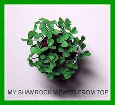 shamrock plant tutorial