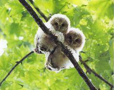 owl babies <3