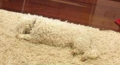 Spot the puppy! like a boss, anim, laugh, funny dogs, funny pictures, funni, carpet, rugs, dog memes