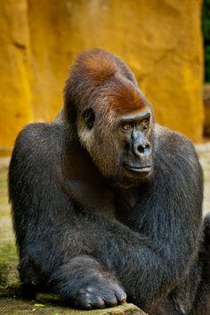 Male Silver back Lowland Gorilla - Pretty Scary!