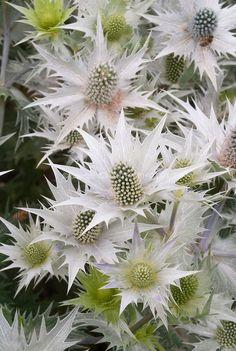 Giant Sea Holly flowers (Eryngium giganteum) 'Silver Ghost'