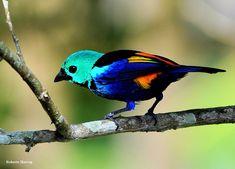 Pintor-verdadeiro ou Saíra-pintor (Tangara fastuosa) - Seven-colored Tanager