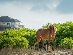 Seeing the majestic Corolla wild ponies in their natural habitat is an experience that people never forget.