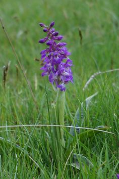 Early Purple Orchid.  As the name suggests the Early Purple is one of the earliest flowering orchids, appearing from April to June.  Thank you to Charles Robinson for spotting sight of these whilst out walking in Wolfscote Dale, White Peak. 11 May 2014