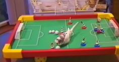 "This budgie ""plays"" soccer and it's adorable."