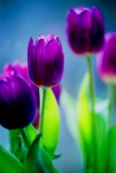 "Purple tulips image via ""Celebrate Your Life"" at www.Facebook.com/CelebratingLifeNow"