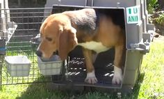 VIDEO:  RESCUED BEAGLES SEE DAYLIGHT FOR THE FIRST TIME  (TRULY TOUCHING)