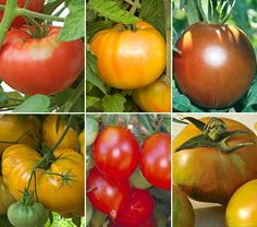Heirloom 'Maters~  Full-bodied slicers, 'Orange Strawberry Oxheart' and 'Gold Medal Yellow'.  Mild and sweet 'Brandywine Red'.  Juicy, garnet-colored 'Black Prince'.  Tangy, late-season 'Green Zebra'. and the one that resembles a giant  bunch of grapes, German 'Riesentraube'.