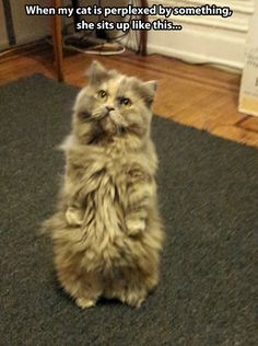 Perplexed fluffiness // funny pictures - funny photos - funny images - funny pics - funny quotes - #lol #humor #funnypictures