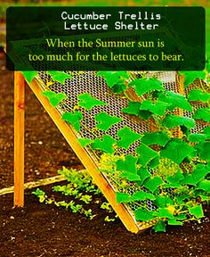 "Previous pinner wrote, ""Saw this awesome tip on a permaculture blog. The author describes that when the Summer sun is too much for the lettuces to bear one can use trellis to shelter them , Now this trellis is used as cucumber plant's support structure. Hitting 2 birds in one shot."""