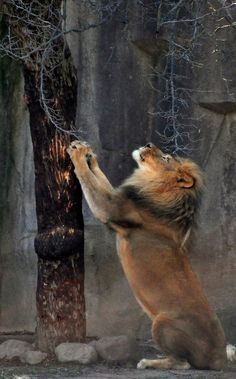 lion... almost looks like he's looking up to God and is praying:)