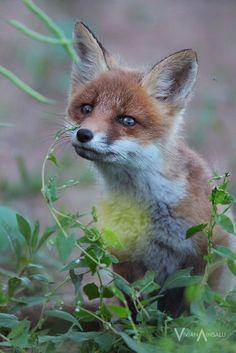 Red Fox Cub by Vivian Ainsalu
