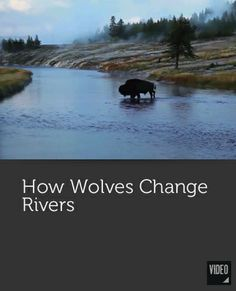 how wolves change rivers tina teng (10 b) science mr lee november 13th, 2014 can wolves really change rivers wolves can really change rivers wolves bring the benefit to the ecosystem by.