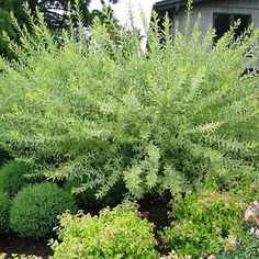 Not Evergreen: Spring Flowering: Salix integra 'Hakuro Nashiki'(WILLOW DAPPLED) Add a splash of color to your landscape with this very popular dappled leafed willow. New foliage is white-green-pink in color. Can be grown as a shrub or trained as a small tree. 6-8 ft h, 6-8 ft w, zones 4-9