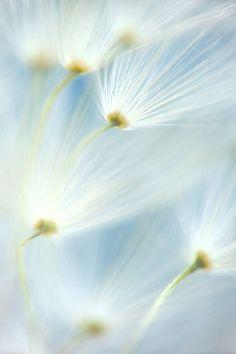 whiter shade, pastel blue, white wind, flower