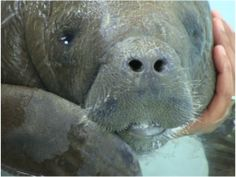 Look at that sweet face! Baby manatee at Dolphin Discovery Riviera Maya.