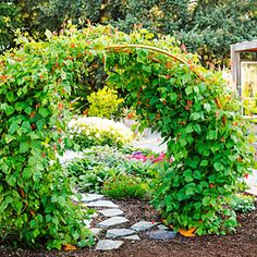 The scarlet runner beans used on this trellis covered it entirely in only two months. Not only does the vine look gorgeous when it runs wild, but it produces tasty pods and shellable beans later on.