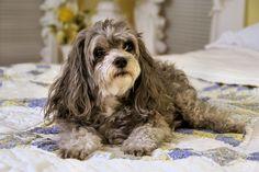 Malti-Poo, Belle ... by JhC #Dog #Pet