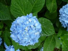 Blooms On A Budget — A Cultivated Nest. Includes an easy way to propagate hydrangeas.