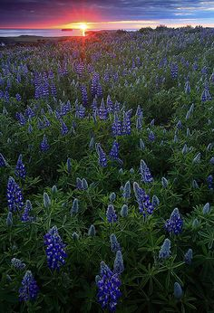 Husavik, Iceland and lupine