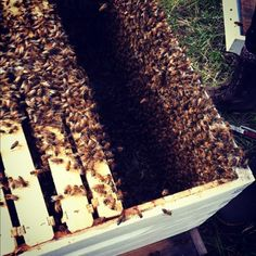 honey bees, this is exactly what my hive looked like when i made sure the queen had been released....