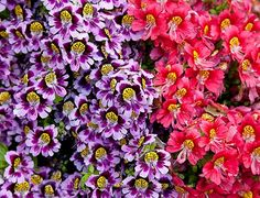 Schizanthus (butterfly flower)--Annual Flower in big container
