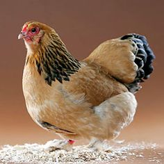 Brahma hen. So gorgeous!