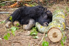 Today on ZooBorns: http://www.zooborns.com/zooborns/2014/07/muskox-birth-gives-keepers-reason-for-hope.html