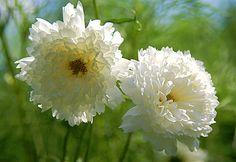 cosmos bipinnatus, hort 330, beauti cosmos, plant hoarder, garden dream